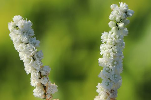 Besenheide 'White Coral' - Calluna vulgaris 'White Coral'