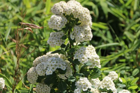Birkenblättrige Spiere 'Tor' - Spiraea betulifolia 'Tor'