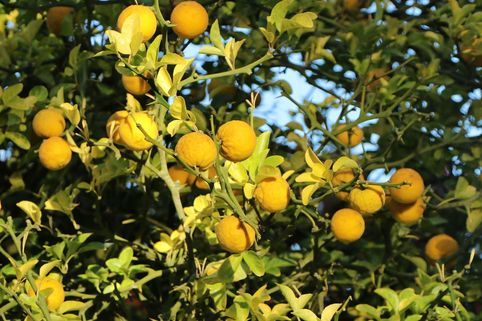 Bitterorange - Poncirus trifoliata
