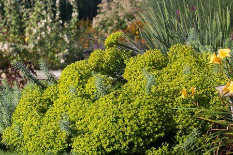 Bläuliche Wolfsmilch - Euphorbia seguieriana subsp. niciciana
