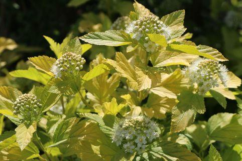 Blasenspiere 'Angel Gold' ® - Physocarpus opulifolius 'Angel Gold' ®