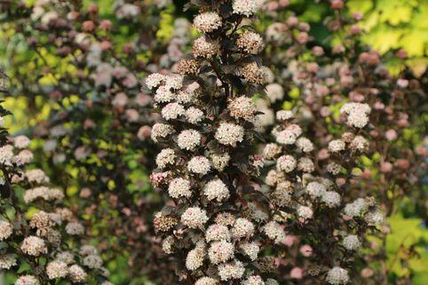 Blasenspiere 'Tiny Wine' ® - Physocarpus opulifolius 'Tiny Wine' ®