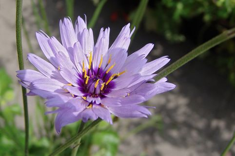 Blaublühende Rasselblume - Catananche caerulea