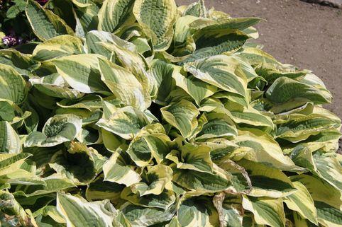 Zweifarbige Herzblattlilie 'Wide Brim' - Hosta sieboldiana 'Wide Brim'