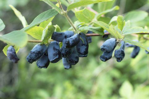 Blaue Heckenkirsche - Lonicera caerulea