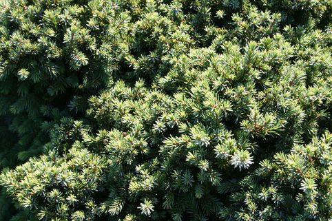 Blaue Igelfichte 'Echiniformis' - Picea glauca 'Echiniformis'