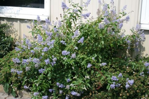Blaue Säckelblume  'Glorie de Versailles' - Ceanothus delilianus 'Glorie de Versailles'