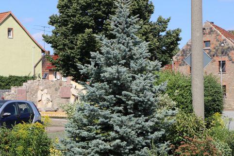 Blaue Stechfichte 'Blue Mountain' - Picea pungens 'Blue Mountain'
