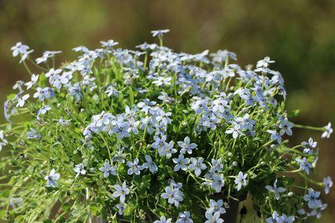 Blauer Bubikopf - Isotoma fluviatilis