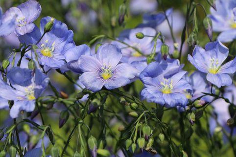 Blauer Stauden-Lein 'Nanum Saphir' - Linum perenne 'Nanum Saphir'