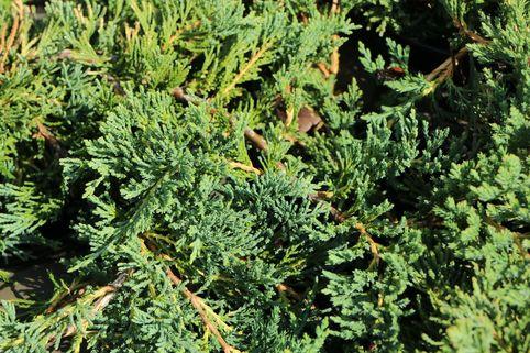 Blauer Teppich-Wacholder / Kriechwacholder 'Glauca' - Juniperus horizontalis 'Glauca'