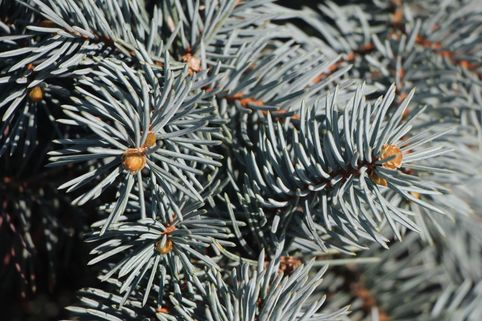 Blaufichte 'Koster' - Picea pungens 'Koster'