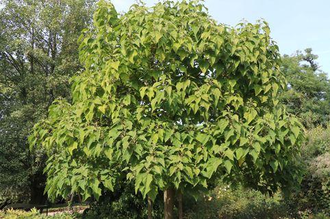 Blauglockenbaum - Paulownia tomentosa