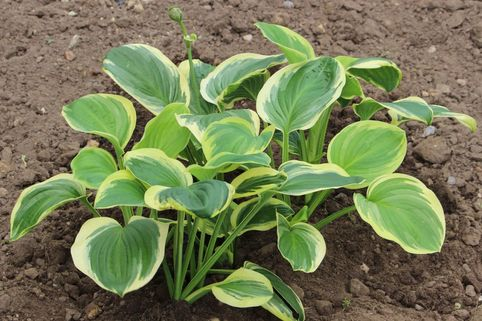 Duftende Lilien-Funkie 'Diana Remembered' - Hosta plantaginea 'Diana Remembered'