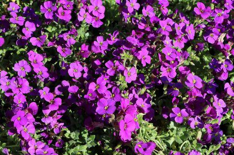 Blaukissen 'Purple Supreme' - Aubrieta x cultorum 'Purple Supreme'