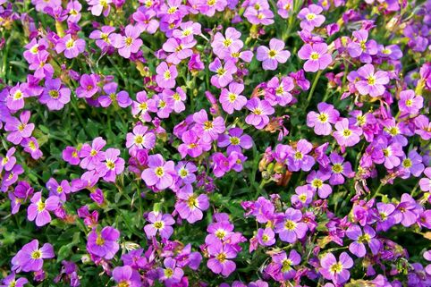 Blaukissen 'Rosengarten' - Aubrieta x cultorum 'Rosengarten'