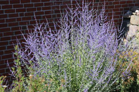 Blauraute 'Blue Spire' - Perovskia atriplicifolia 'Blue Spire'