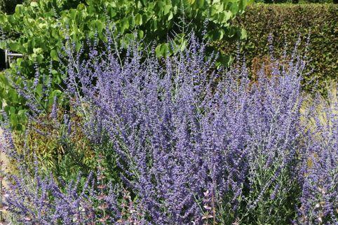 Blauraute 'Little Spire' - Perovskia atriplicifolia 'Little Spire'