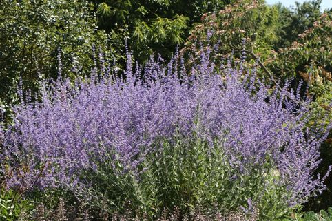 Blauraute / Silberbusch - Perovskia abrotanoides
