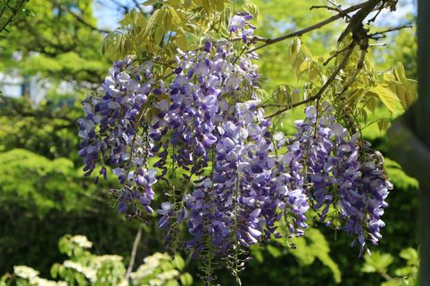 Blauregen - Wisteria floribunda