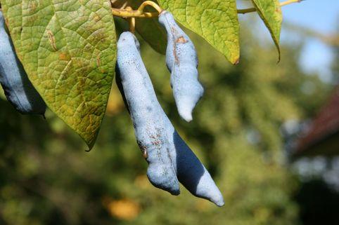 Blauschote - Decaisnea fargesii