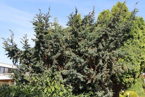 Blauzeder-Wacholder 'Meyeri' - Juniperus squamata 'Meyeri'
