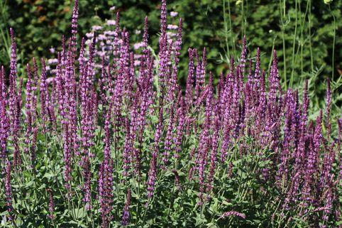 Blüten-Salbei 'Amethyst' - Salvia nemorosa 'Amethyst'