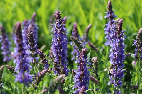 Blüten-Salbei 'Blauhügel' - Salvia nemorosa 'Blauhügel'