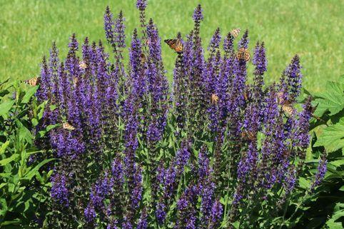 Blüten-Salbei 'Blaukönigin' - Salvia nemorosa 'Blaukönigin'