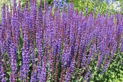 Blüten-Salbei 'Jan Spruyt' - Salvia nemorosa 'Jan Spruyt'
