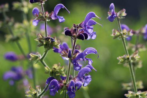 Blüten-Salbei 'Rhapsody in Blue' ® - Salvia pratensis 'Rhapsody in Blue' ®