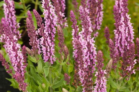 Blüten-Salbei 'Sensation Deep Rose' ® - Salvia nemorosa 'Sensation Deep Rose' ®