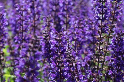 Blüten-Salbei 'Viola Klose' - Salvia nemorosa 'Viola Klose'