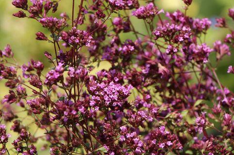 Blumen-Dost 'Hopleys' - Origanum laevigatum 'Hopley'