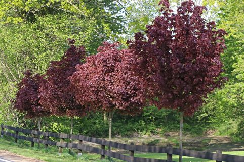 Blut-Ahorn 'Crimson Sentry' - Acer platanoides 'Crimson Sentry'