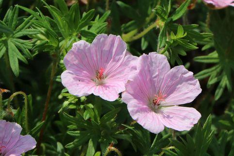 Blut-Storchschnabel 'Apfelblüte' - Geranium sanguineum var. striatum 'Apfelblüte'