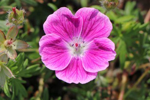 Blut-Storchschnabel 'Elke' - Geranium sanguineum 'Elke'