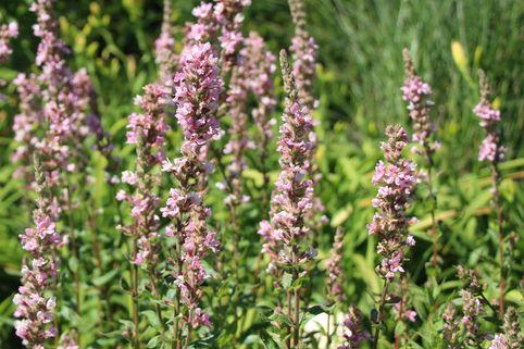 Blut-Weiderich 'Blush' - Lythrum salicaria 'Blush'