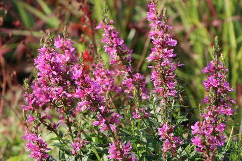 Blut-Weiderich 'Robert' - Lythrum salicaria 'Robert'