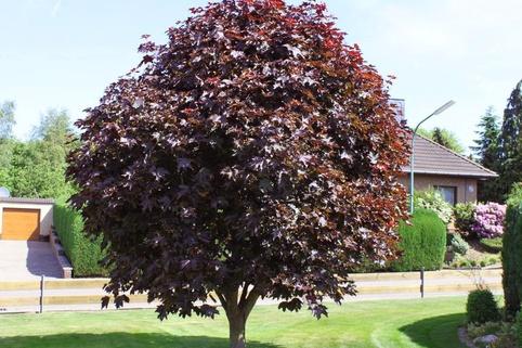 Blutahorn 'Faassen's Black' - Acer platanoides 'Faassen's Black'