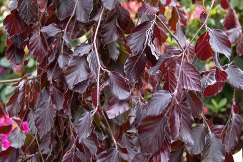 Blutbuche 'Purple Fountain' - Fagus sylvatica 'Purple Fountain'