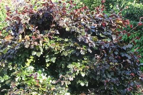 Süntel-Buche / Blutbuche 'Tortuosa Purpurea' - Fagus sylvatica var. suentelensis 'Tortuosa Purpurea'