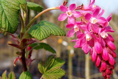 Blutjohannisbeere / Zierjohannisbeere - Ribes sanguineum 'Koja'