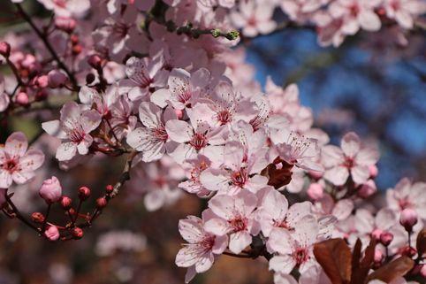 Blutpflaume 'Nigra' - Prunus cerasifera 'Nigra' CAC (auf Stamm)