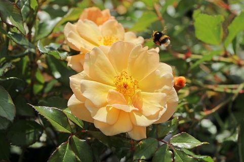 Bodendecker-Rose 'Amber Sun' ® / 'Sonne des Allgäu' - Rosa 'Amber Sun' ® / 'Sonne des Allgäu'