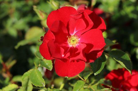 Bodendecker-Rose 'Centro®-Rose' - Rosa 'Centro®-Rose'