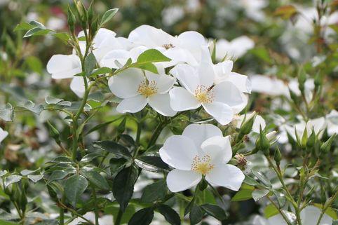 Bodendecker-Rose 'Escimo' ® - Rosa 'Escimo' ®