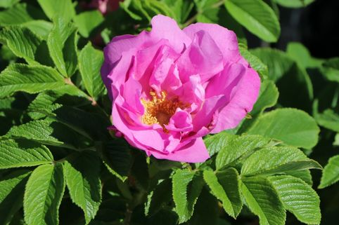 Bodendecker-Rose 'Foxi' ® - Rosa rugosa 'Foxi' ®