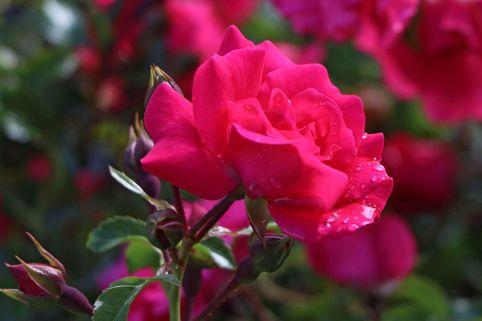 Bodendecker-Rose 'Heidetraum' ® - Rosa 'Heidetraum' ® ADR-Rose