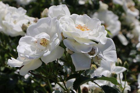 Bodendecker-Rose 'Innocencia' ® - Rosa 'Innocencia' ® ADR-Rose